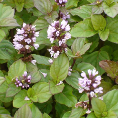 Mentha Citrata Oil Machilipatnam