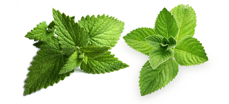 Natural Peppermint Suppliers